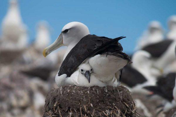 Albatross_Island_Print_003