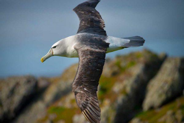 Albatross_Island_Print_008